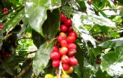 Coffee Tour La Amistad, Limon